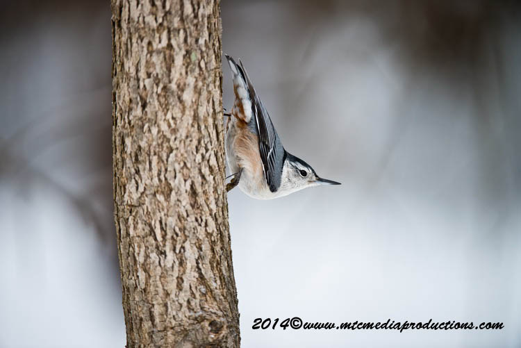White Breasted Nuthatch Picture-93