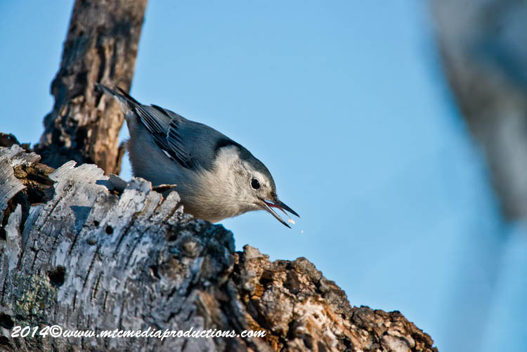 White Breasted Nuthatch Picture-94