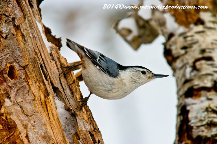White Breasted Nuthatch Picture-97