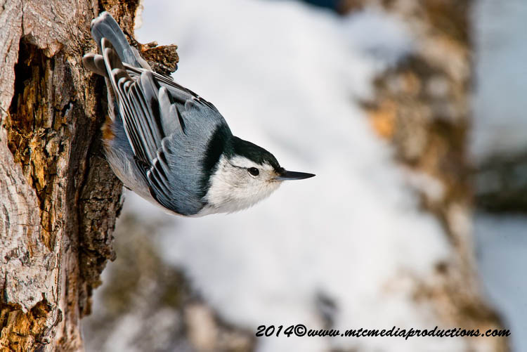 White Breasted Nuthatch Picture-99