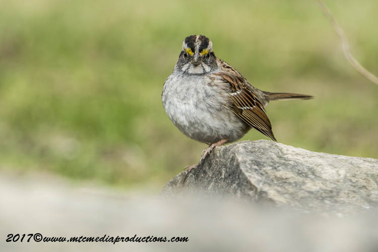 White Throat Sparrow Picture