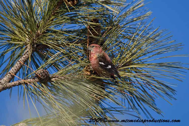 White Winged Crossbill Picture