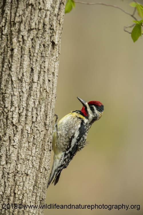 Yellow Bellied Sapsucker Picture
