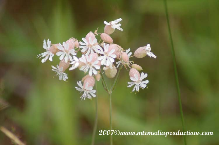 Bladder Campion Picture-00