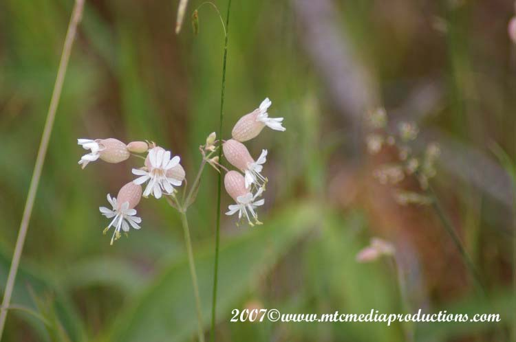 Bladder Campion Picture-01