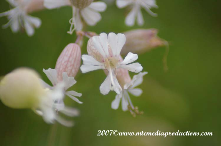 Bladder Campion Picture-02