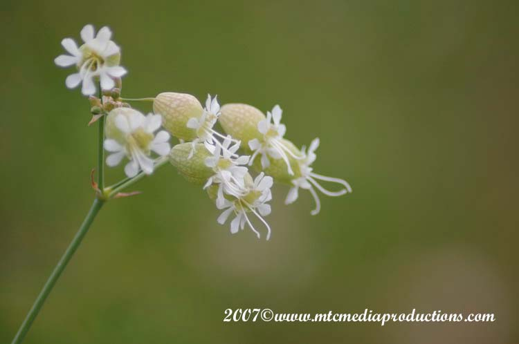 Bladder Campion Picture-03