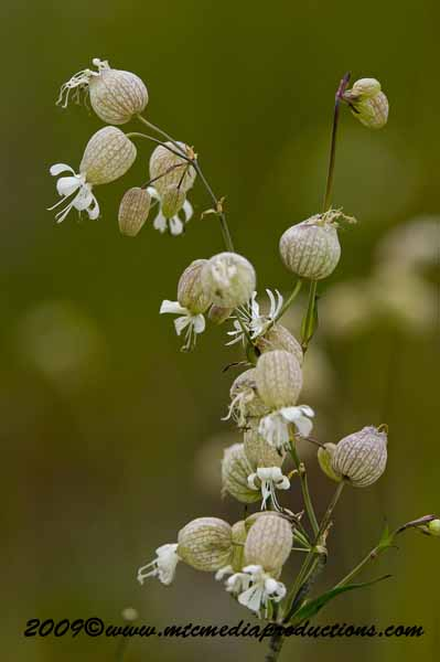 Bladder Campion Picture-04