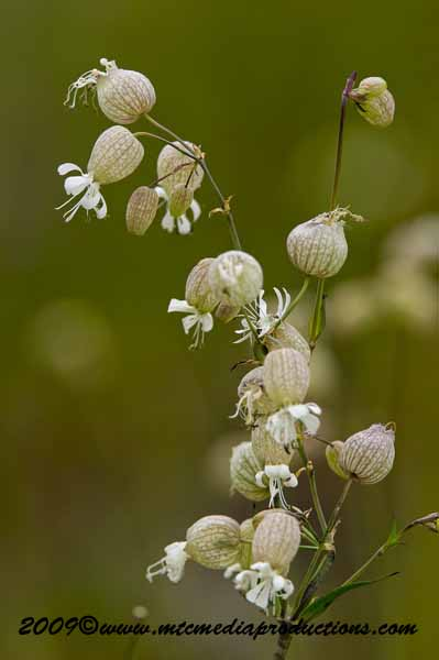 Bladder Campion Picture-05