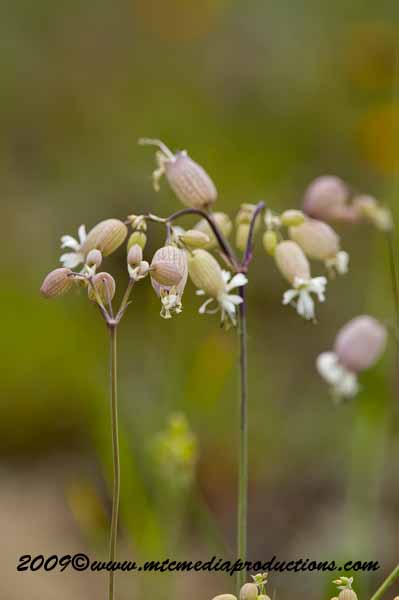 Bladder Campion Picture-06