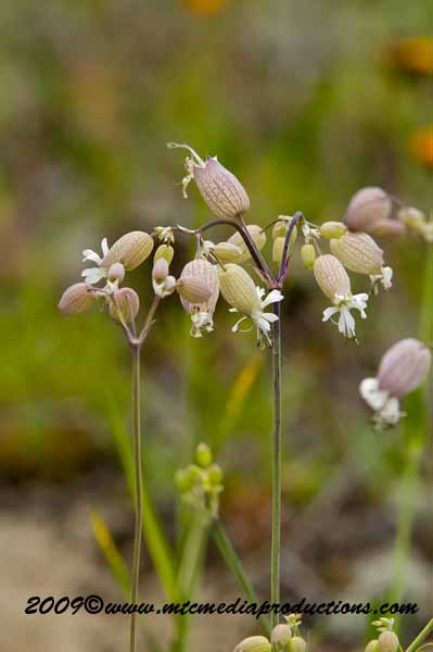 Bladder Campion Picture-07