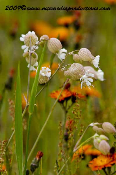 Bladder Campion Picture-08