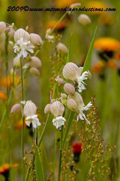 Bladder Campion Picture-09