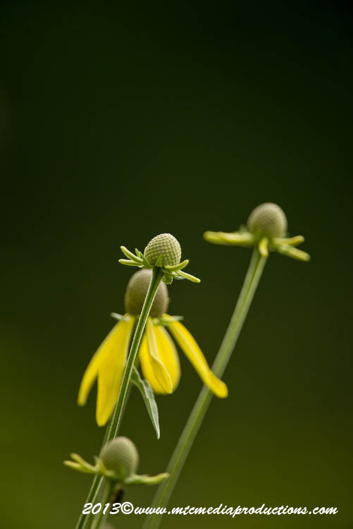 Gray Headed Coneflower Picture