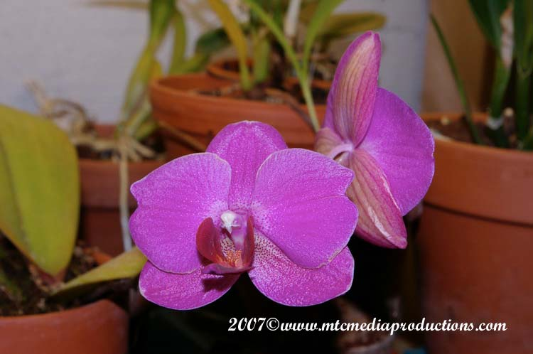 Orchid-08