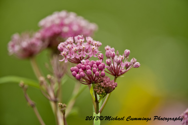 Spotted Joe Pye Weed Picture-00