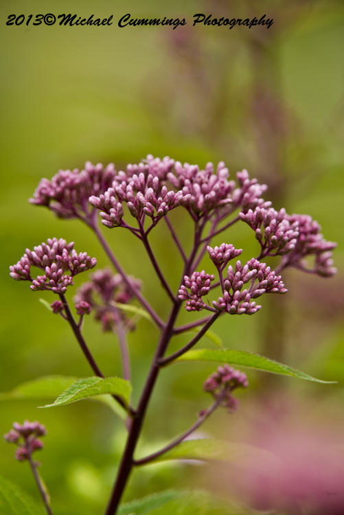 Spotted Joe Pye Weed Picture-01