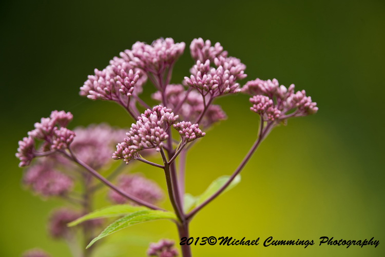 Spotted Joe Pye Weed Picture-02