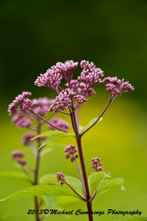 Spotted Joe Pye Weed Picture-03