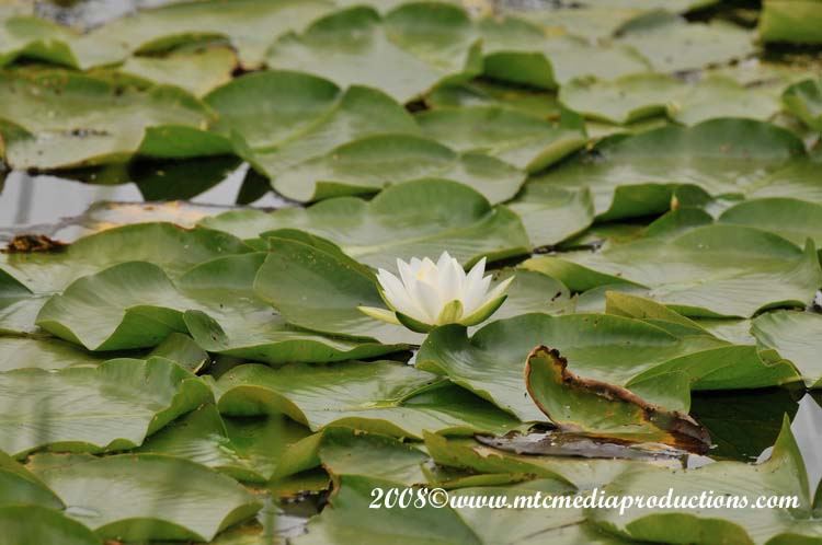 Waterlily-01