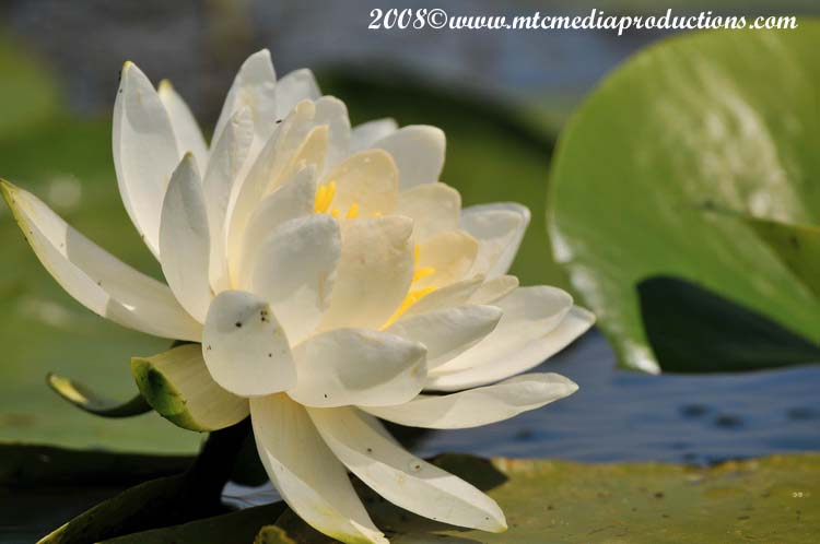 Waterlily-10