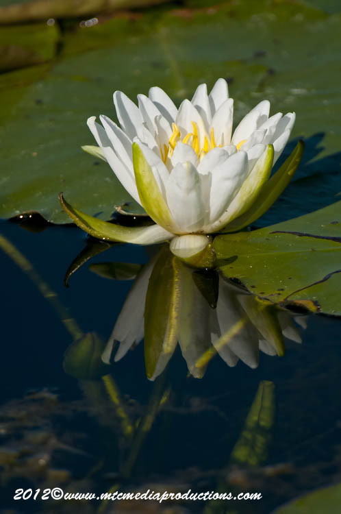 Waterlily-100