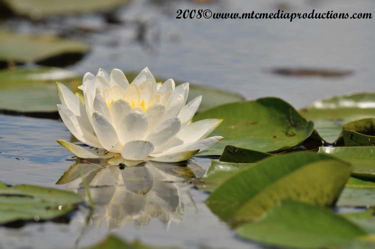 Waterlily-11