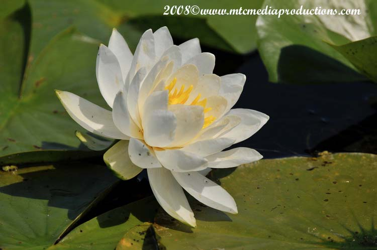Waterlily-12