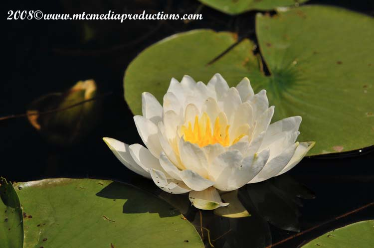Waterlily-13