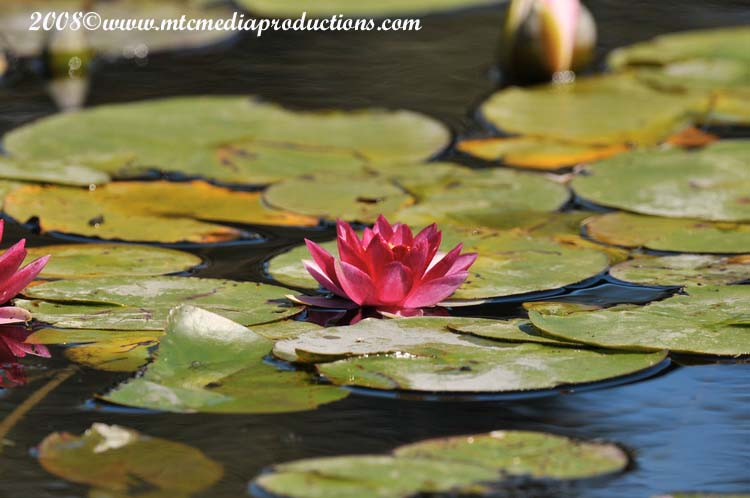 Waterlily-14