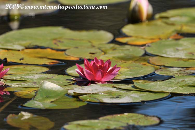 Waterlily-15