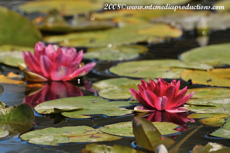 Waterlily-16