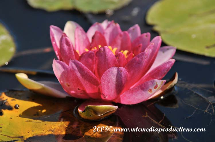 Waterlily-17