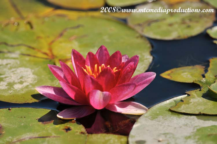 Waterlily-18