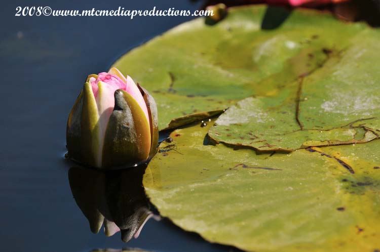 Waterlily-19