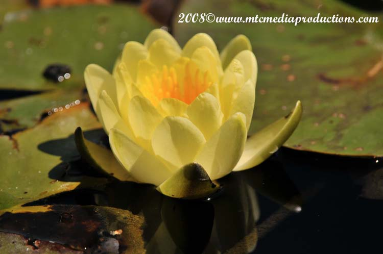 Waterlily-20