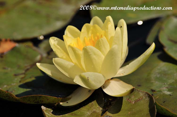 Waterlily-21