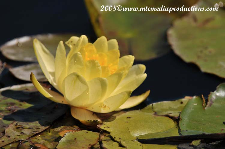 Waterlily-22