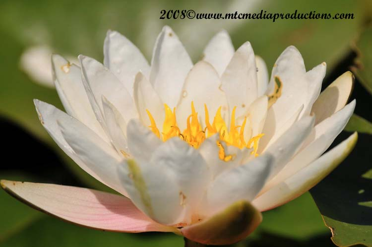 Waterlily-24