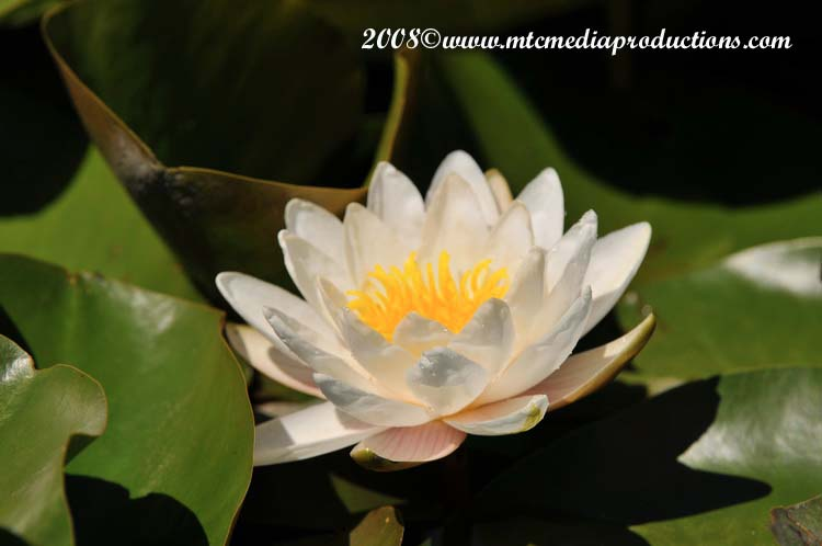 Waterlily-25