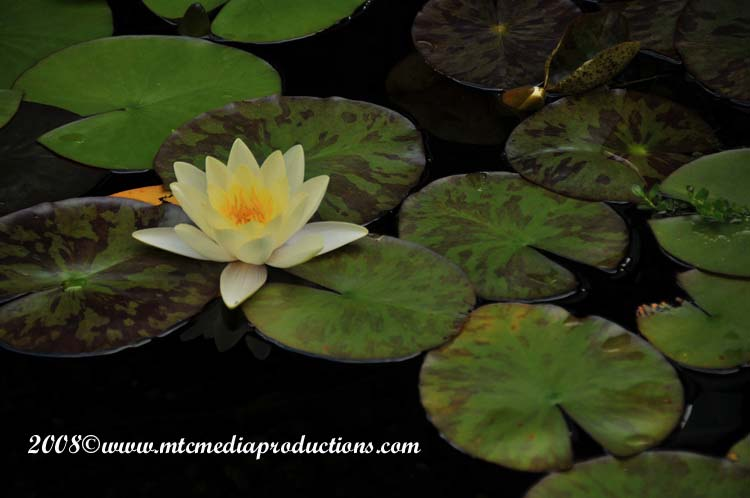 Waterlily-27