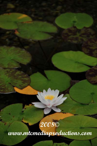 Waterlily-28
