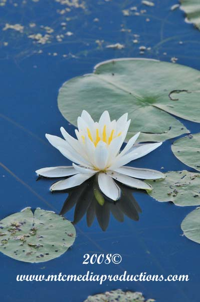 Waterlily-03