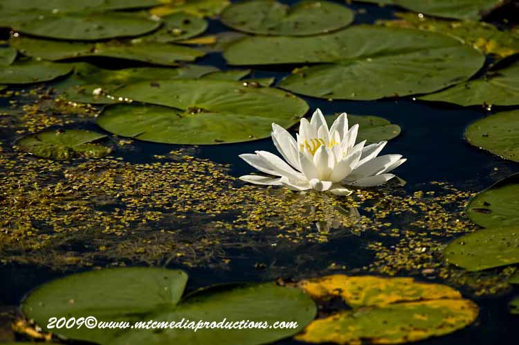 Waterlily-30