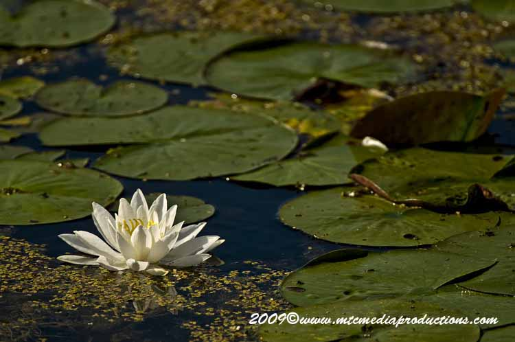 Waterlily-31