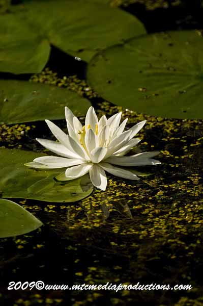 Waterlily-32