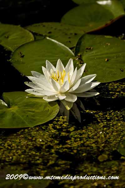 Waterlily-33