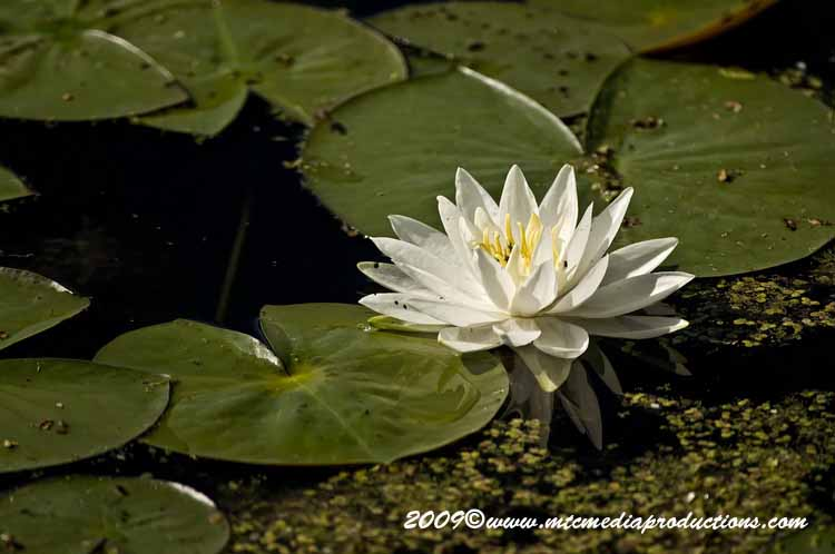 Waterlily-34