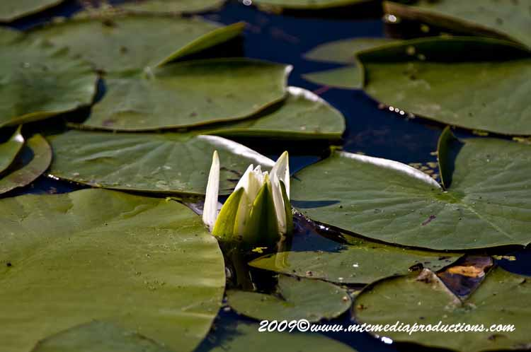 Waterlily-35