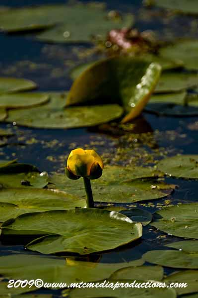 Waterlily-36